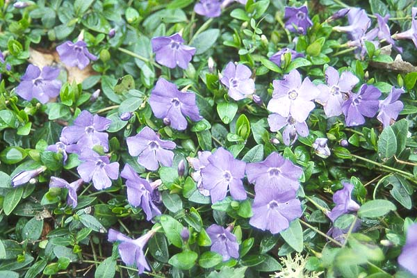 periwinkle, Natural flower